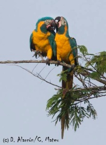 Blue-throated Macaw (Ara Glaucogularis) © D. Alarcón / C. Mateu