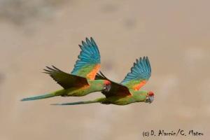 Red-fronted Macaw (Ara rubrogenys) © D. Alarcón / C. Mateu
