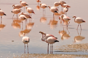 James's Flamingo (Phoenicoparrus jamesi) © SK Herzog