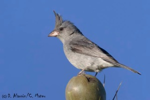 Gray-crested Finch (Lophospingus Griseocristatus) © D. Alarcón / C. Mateu